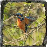 Kingfisher. Medium Square Slate ZB_54_MSL